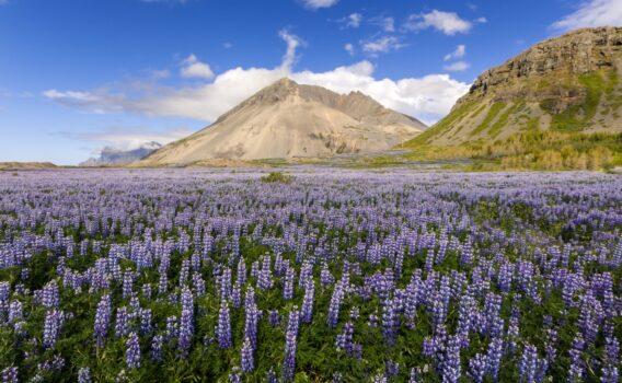ルピナスの咲く風景 アイスランドの風景