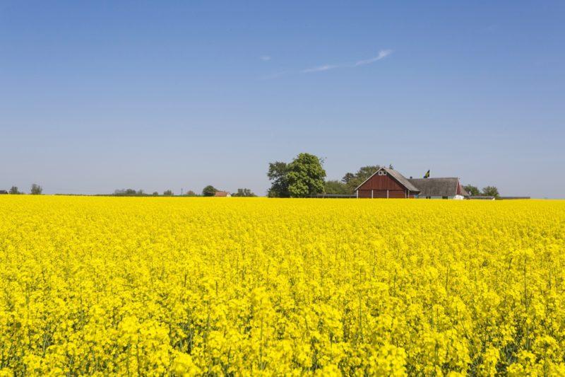 マルメ近郊の菜の花畑の風景