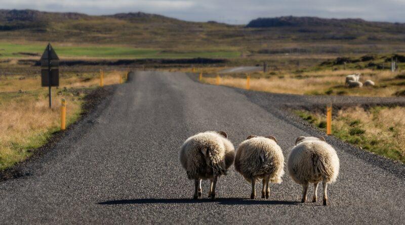 アイスランドの羊たち